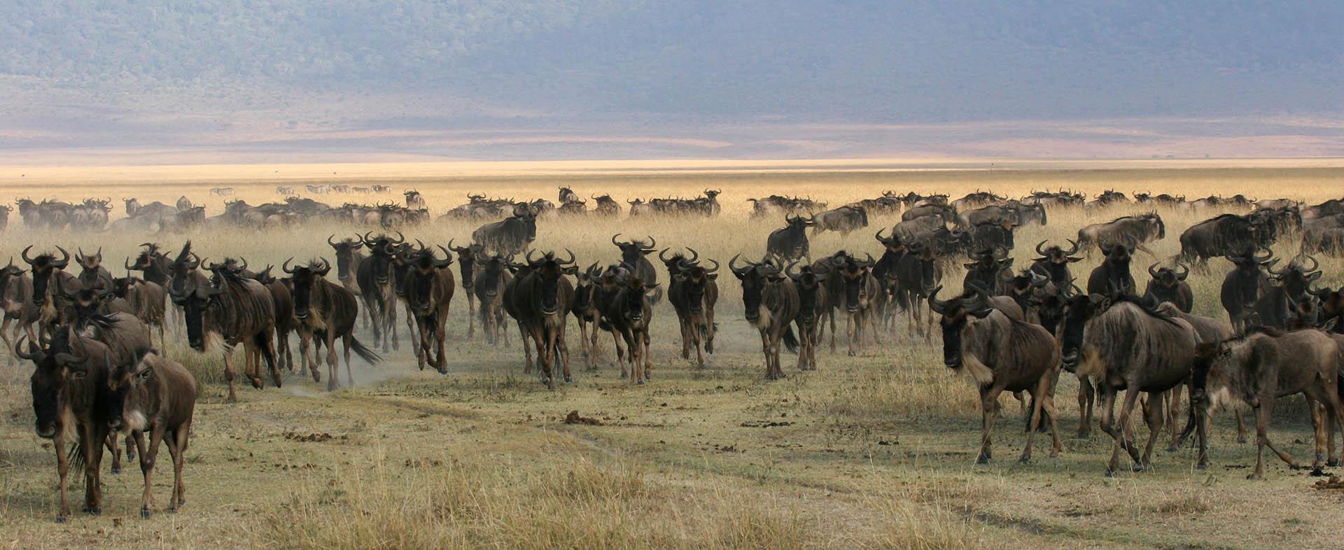 Wildebeest1